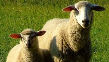Kopie - Radkovy ovce