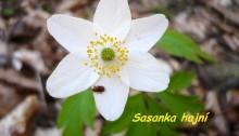 Sasanka-hajní-1024x768